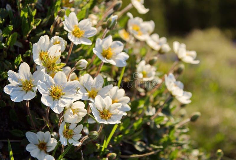 White dryas - mountain flowers. White dryas, spring mountain flowers royalty free stock photography