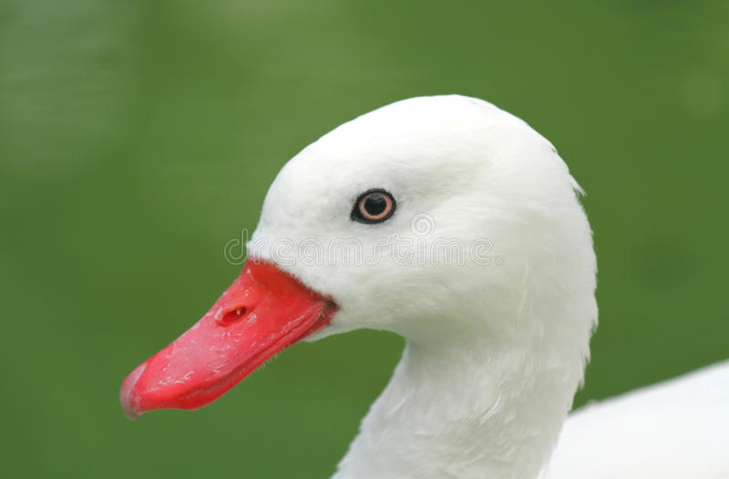 White Duck royalty free stock photos