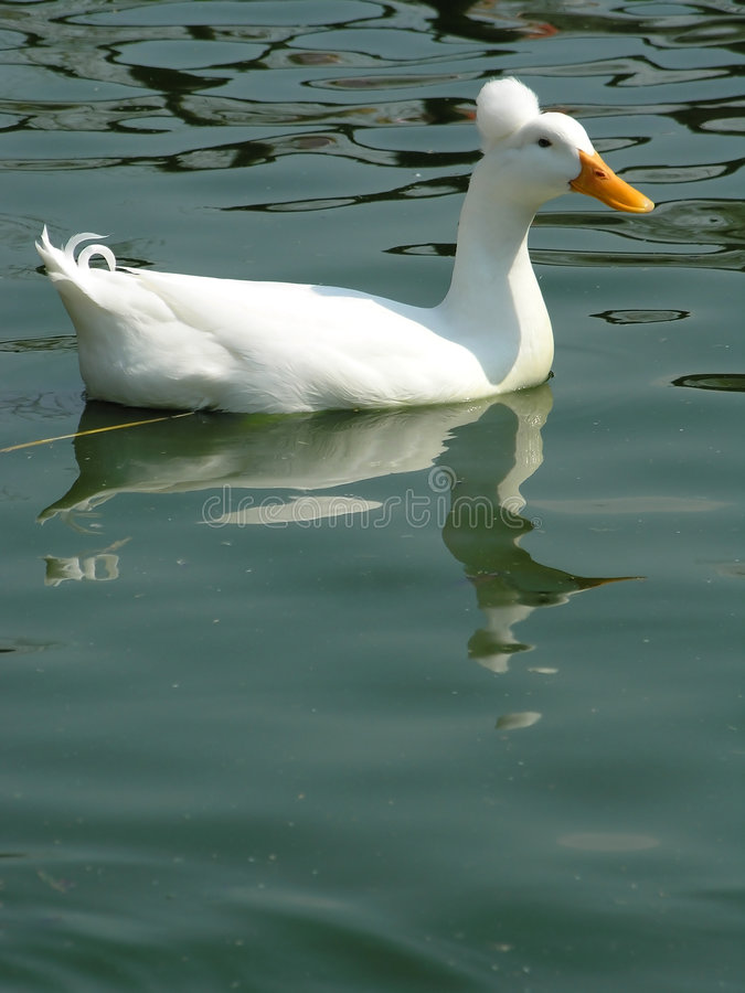 Free White Duck Royalty Free Stock Image - 2344636