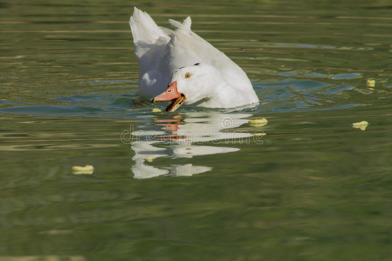 White duck eating stock images