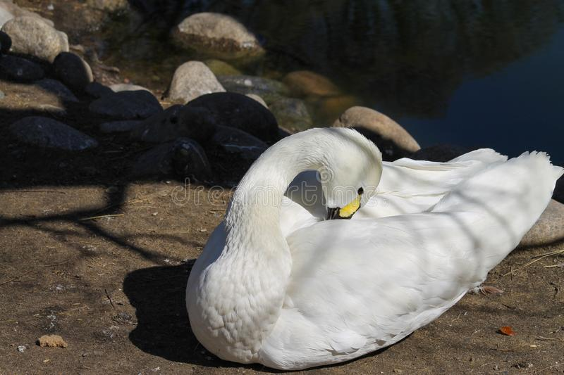 White duck near the water. Beautiful white duck sits on the ground and cleans feathers. bird near the water royalty free stock images