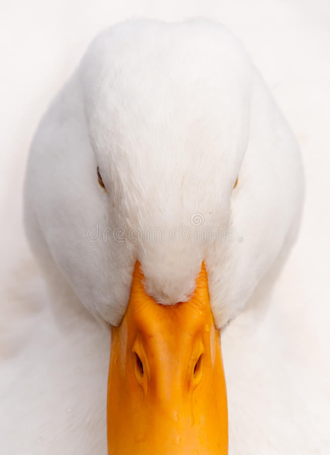 Free White Duck Hi-Key Close-up Portrait Stock Photos - 15847643