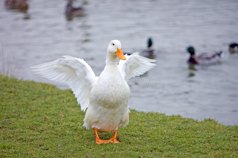 White duck with orange beak and feet having a stretch. Next to a pond or lake royalty free stock image