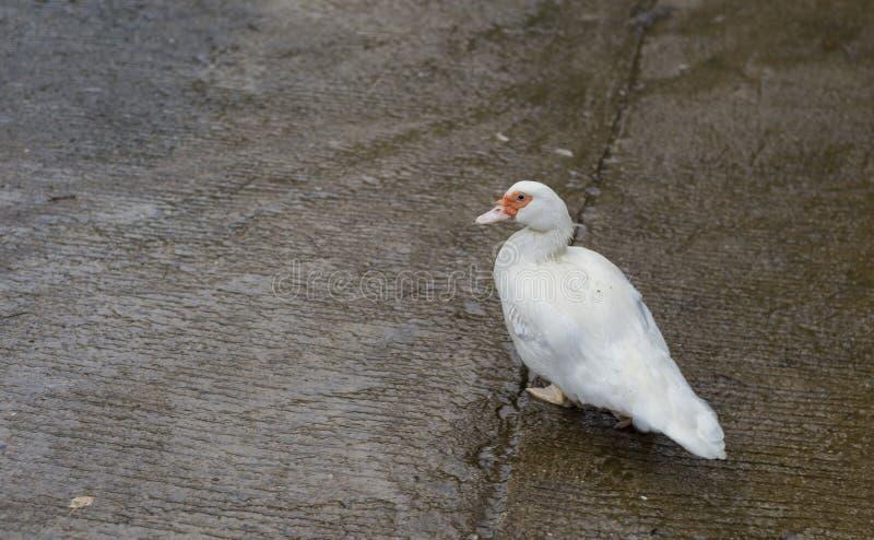 White duck in the rain stock image