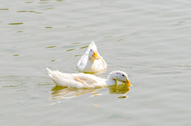 Download The white duck stock photo. Image of lake, fowl, farming - 39510852