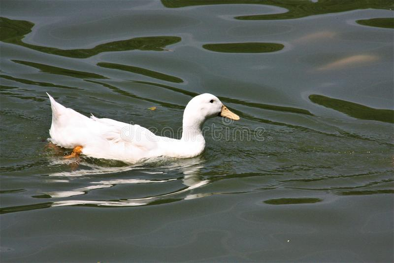 A white duck swiming in the Lake Garden stock images