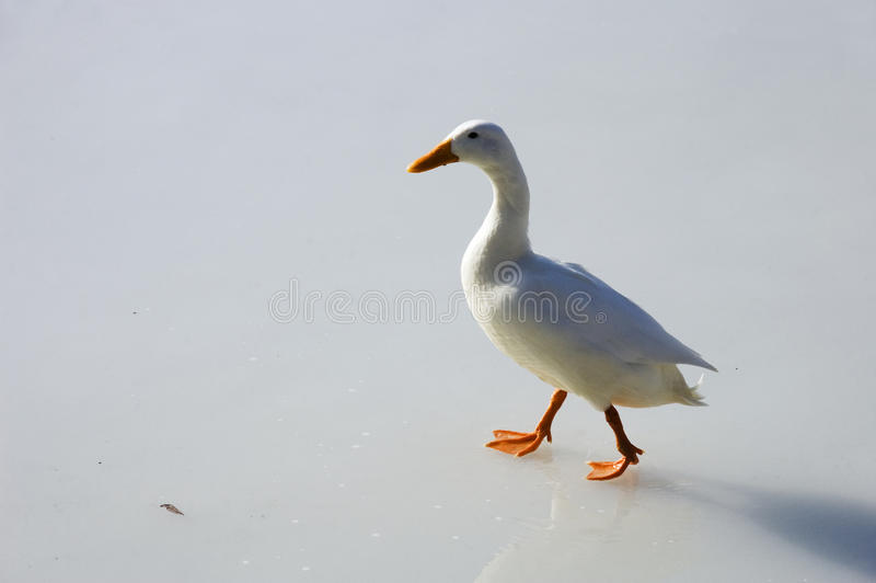 Download White Duck Walking On Ice Royalty Free Stock Image - Image: 21397756