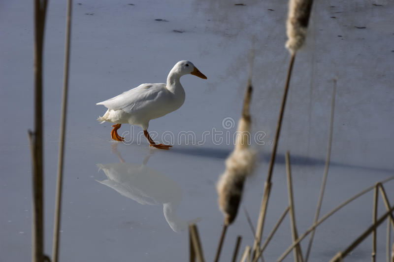 Download White duck walking on ice stock image. Image of duck - 22021693