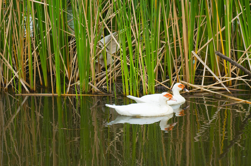 Download White ducks stock photo. Image of wild, colorful, natural - 16999088