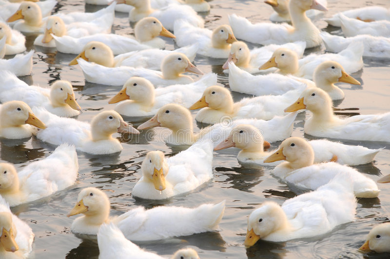 The white ducks. Floating on the pond water royalty free stock images