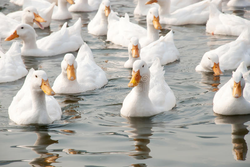White ducks royalty free stock photos