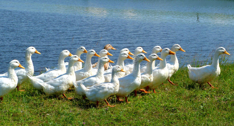 White ducks. Going forward on a green grass against the blue river is seen stock image