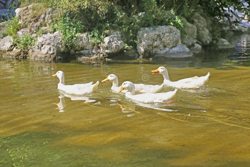 White ducks in the lake of the National Garden of Athens Greece stock photography