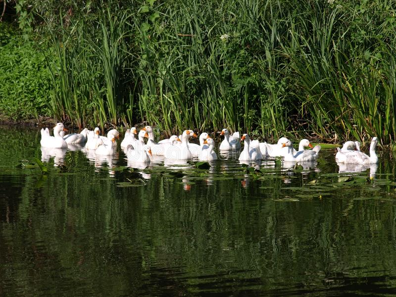 White ducks swimming in the pond together. Home farm concept royalty free stock image