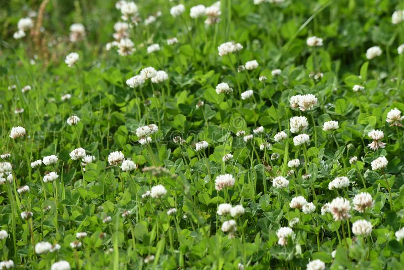 White dutch clover. White clover / Dutch clover / Trifolium repens royalty free stock photo