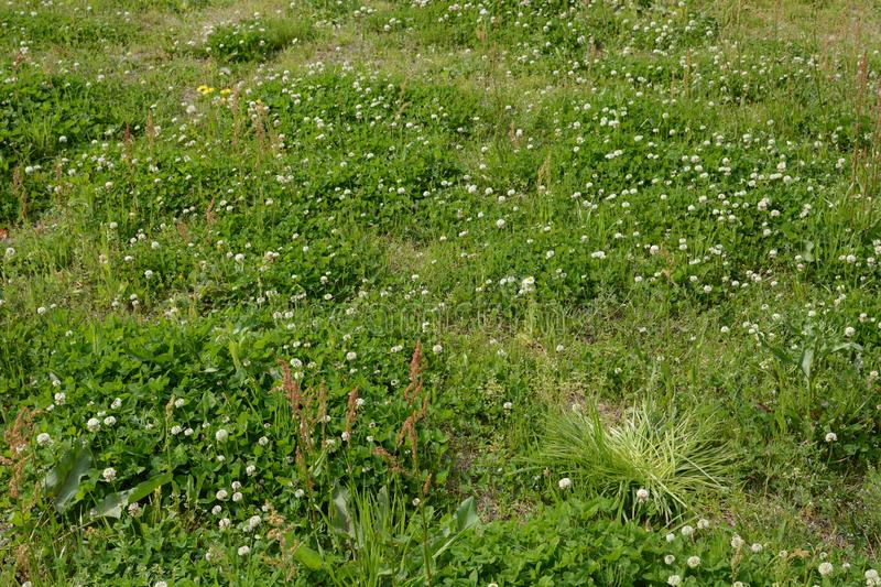 White dutch clover. White clover / Dutch clover / Trifolium repens royalty free stock photography