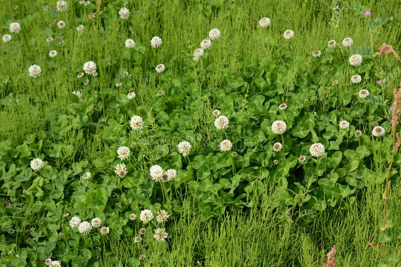 White dutch clover. White clover / Dutch clover / Trifolium repens royalty free stock images