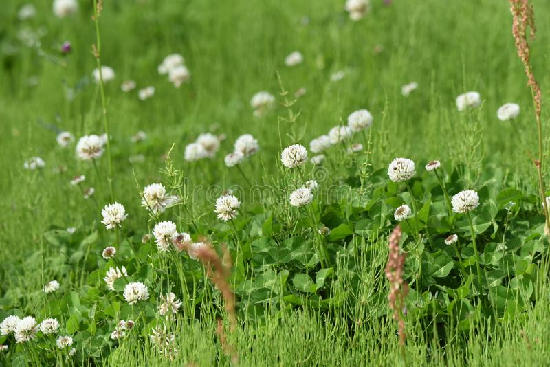 White dutch clover. White clover / Dutch clover / Trifolium repens stock photography