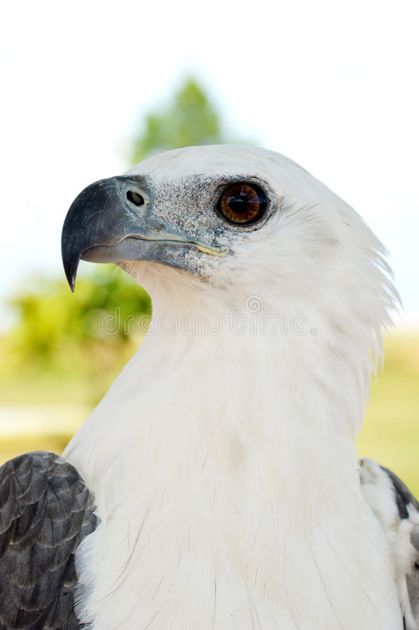 Download White eagle stock image. Image of eagle, head, species - 34438677