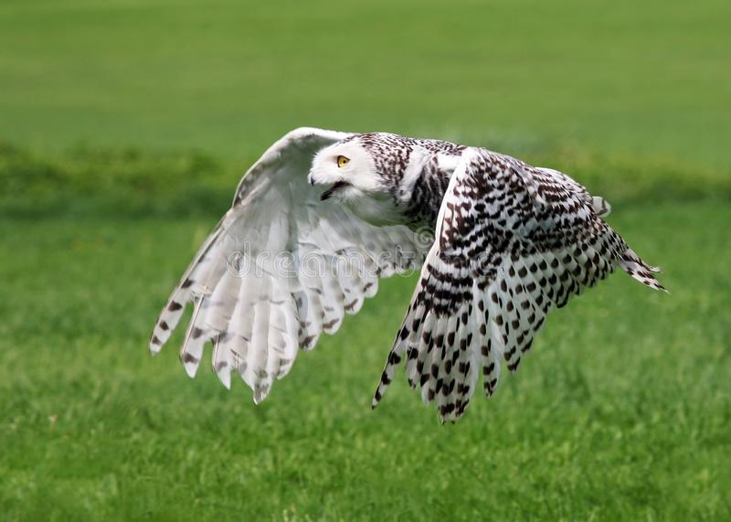 A white eagle is preying on its prey on the grass. With the best quality and resolution stock photography