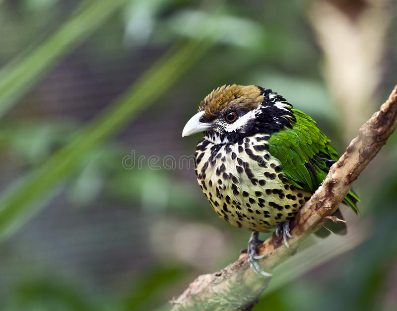 White Eared Catbird in Honk Kong Aviary stock images