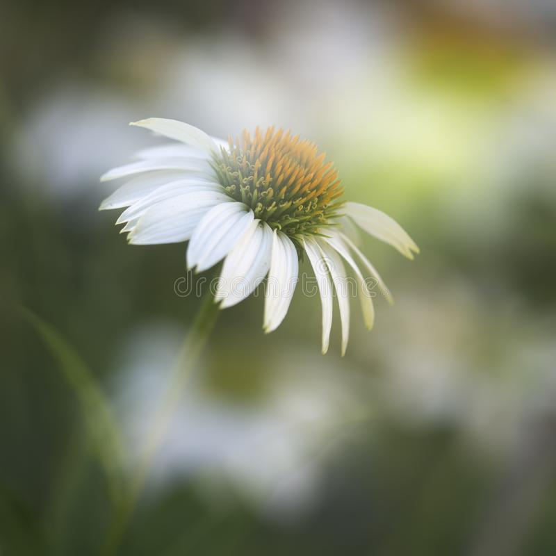 White echinacea flower closeup outside in the garden royalty free stock photos