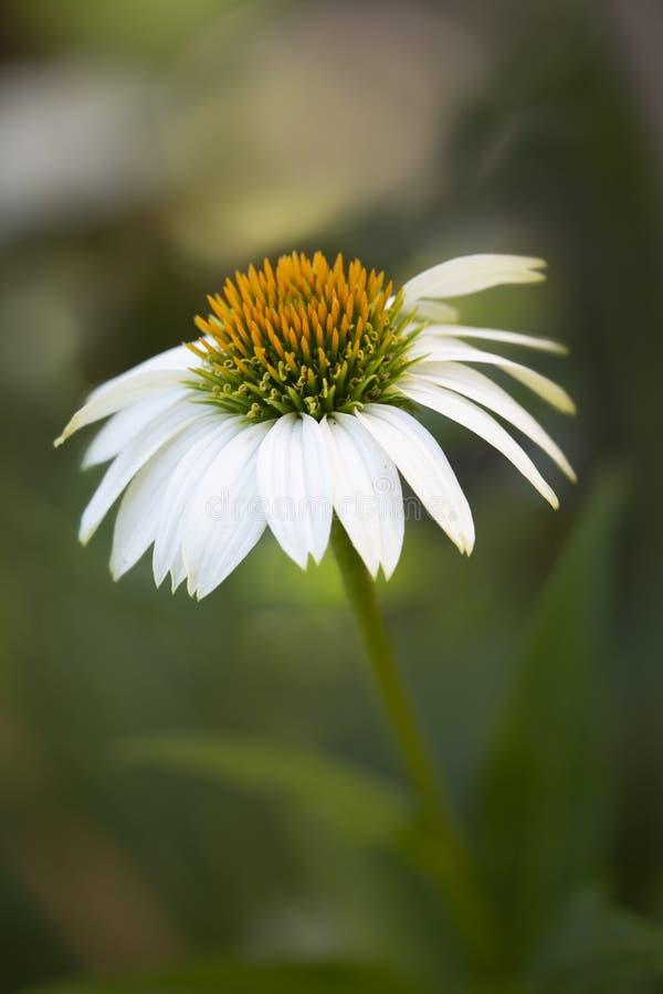 Beautiful white echinacea flower ouside shot stock photography