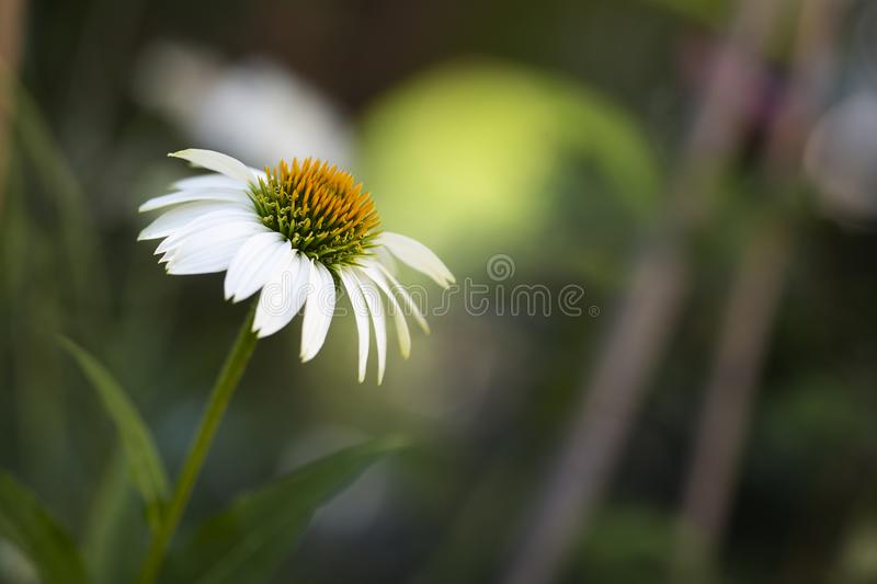 White echinacea or coneflower closeup royalty free stock image
