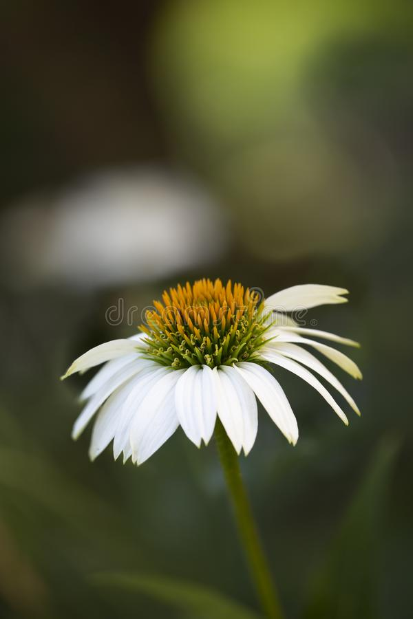 White echinacea or coneflower with textspace royalty free stock image