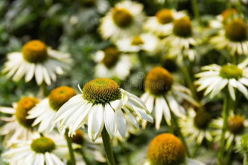 White echinacea flower coneflower blooming in the garden. White echinacea flower coneflower blooming in the garden with blurred background stock photos