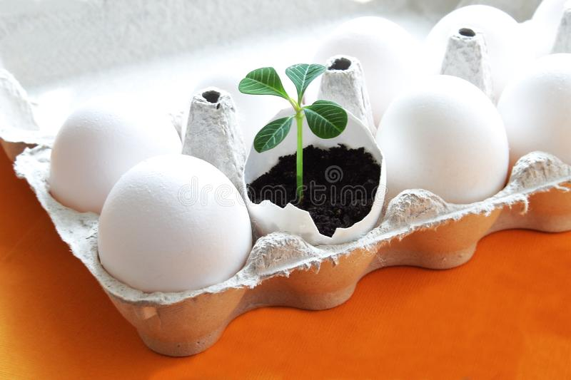 White eggs and delicate green sprout in eggshell in paper box as symbol of life and renewal on bright orange background. Easter stock images