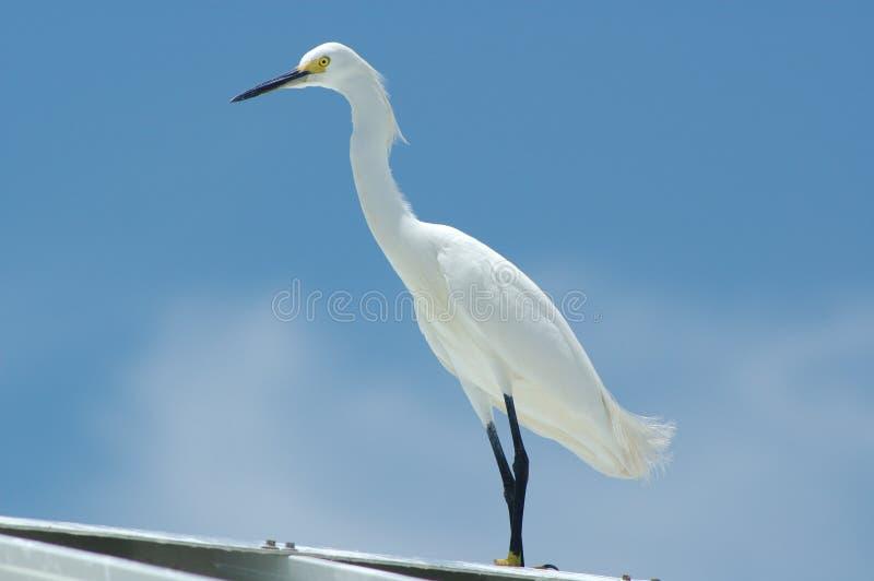 Download White Egret stock image. Image of heron, standing, bird - 172923