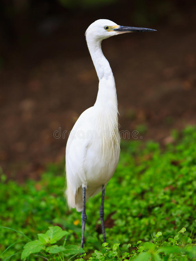 Download White Egret stock image. Image of green, colour, purity - 20855967