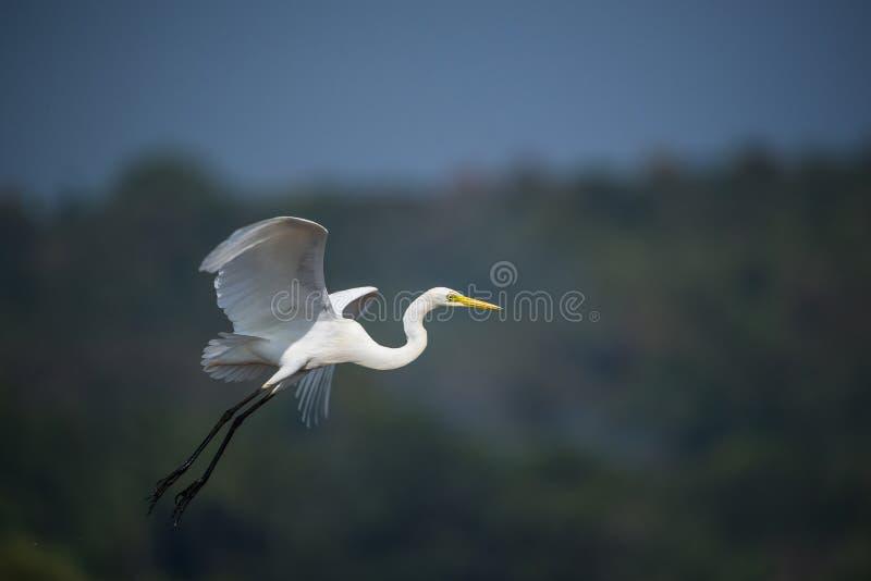 White Egret in Flight stock image