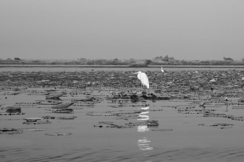 White Egret bird in lotus lake Nong Harn in Udonthani - Thailand royalty-vrije stock afbeeldingen