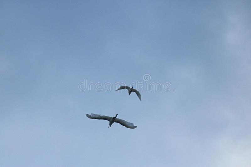 TWO WHITE EGRET BIRDS FLYING AGAINST CLOUDY SKY stock images