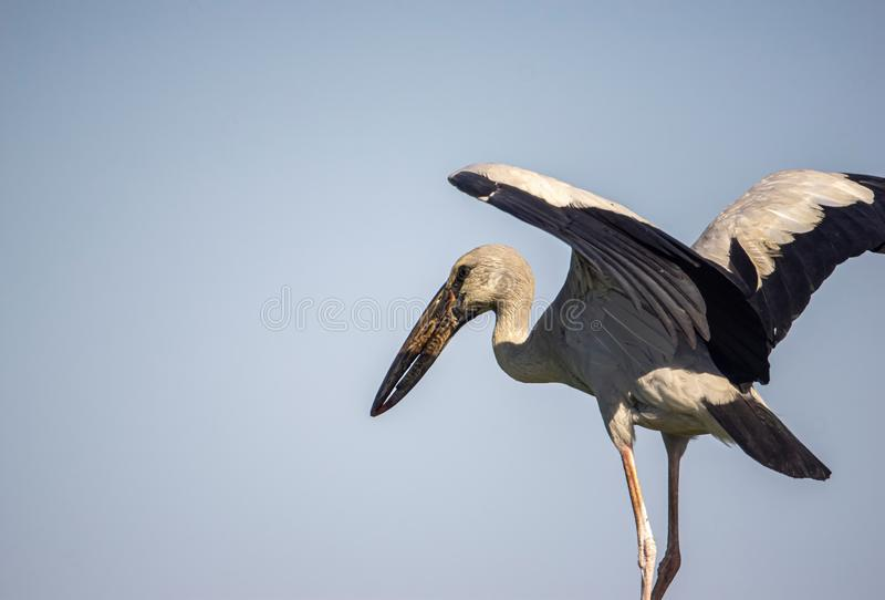 White egret, black wing tip, spread wings for evening sun royalty free stock images