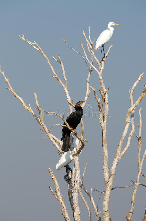 Download White Egret And Darter Royalty Free Stock Photography - Image: 32764717