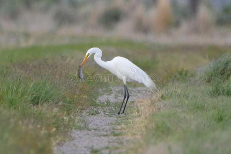 White Egret Eating A Rodent. A white egret bird with a captured rodent in its beak white standing in a field