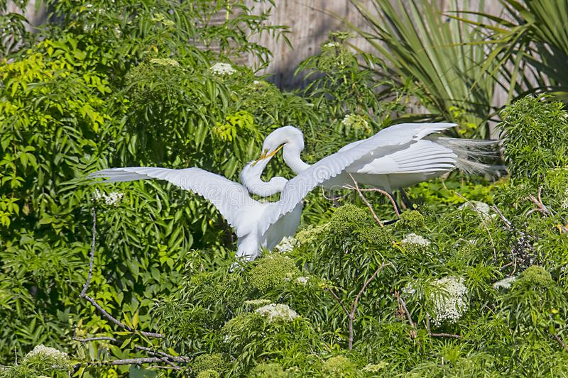White Egret Feeding Its Hungry Juvenile Young stock photo