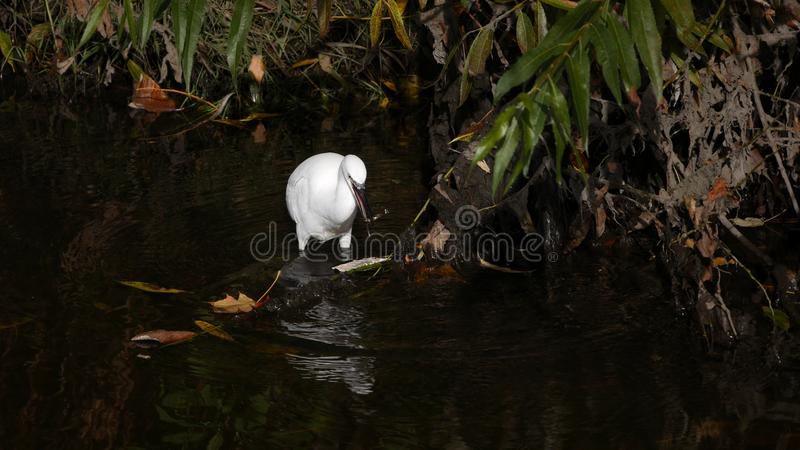 Little Egret in river with a fish in its mouth stock image