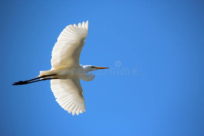 Download White Egret In Flight Royalty Free Stock Photo - Image: 26641565