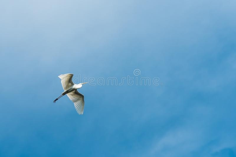 White Egret flying against blue sky royalty free stock image