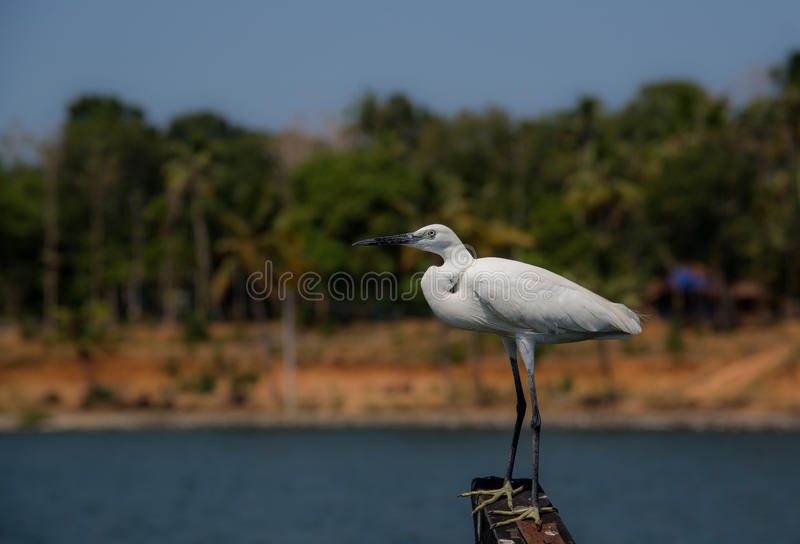 White Egret Hunting royalty free stock photography