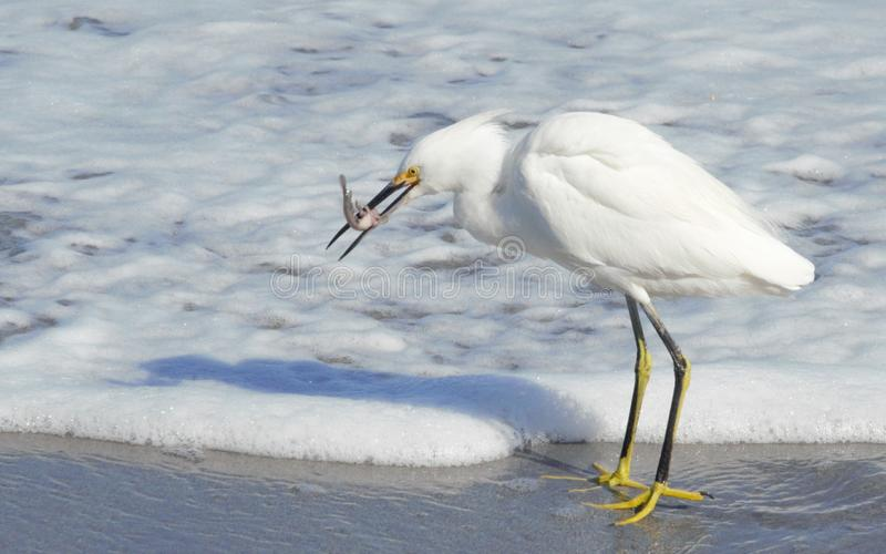 A White Egret Hunts for Marine Life on the Beach. The White Egret is among many South Florida Seabirds that hunt the Boca Beach Shoreline royalty free stock images