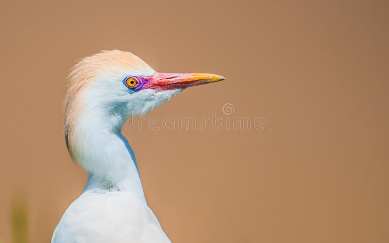 White egret with a nice hairstyle poses at the park royalty free stock photo
