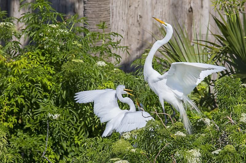 White Egret Parent Arriving On Nest To Feed Its Juvenile Birds stock photos
