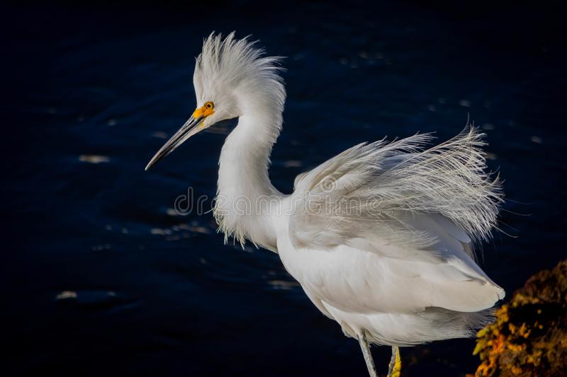 White egret with plumage ruffled up standing in a bay. Beautiful and majestic white egret with plumage ruffled up standing in a bay royalty free stock images