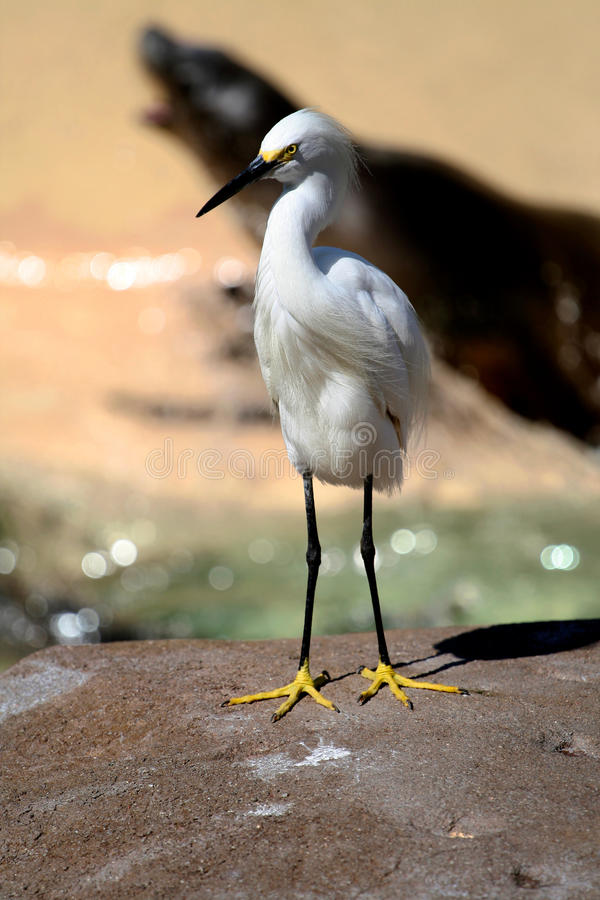 Download White Egret On Rock Royalty Free Stock Photos - Image: 22960208
