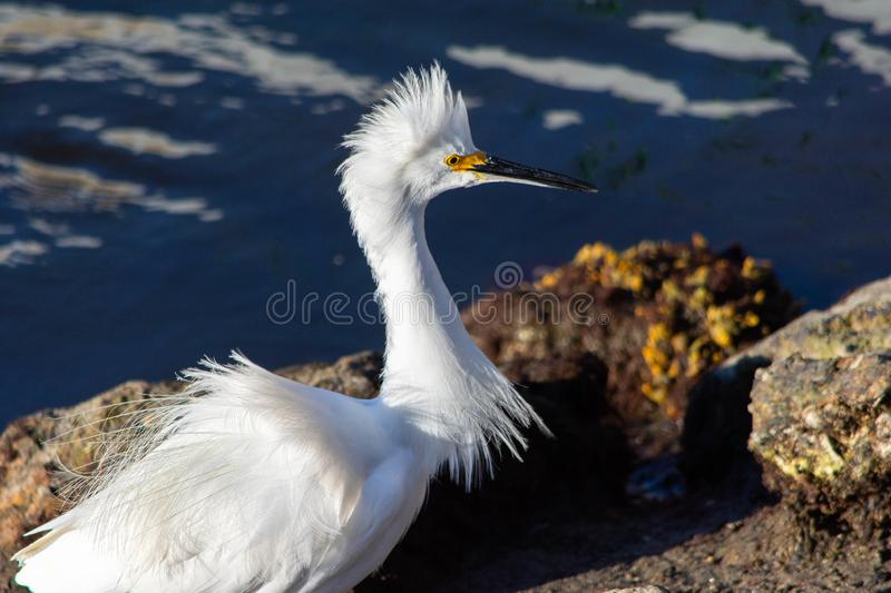 White egret with ruffled plumage. White egret standing by rocks in a bay in Southern California. Beautiful white plumage ruffled up stock image